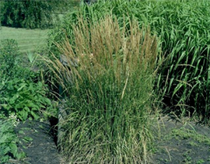 feather reed grass variegated