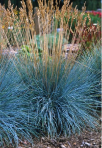 fescue grass boulder blue