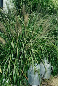 fountain grass variegated