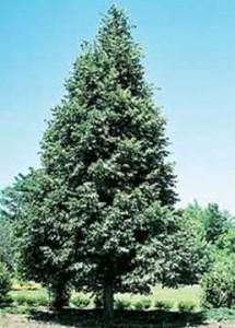 linden corinthian