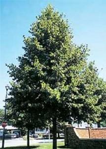 linden redmond