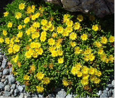Ice Plant Yellow