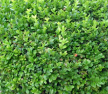Broadleaf Evergreen Shrubs