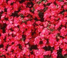 Perennials/Groundcover