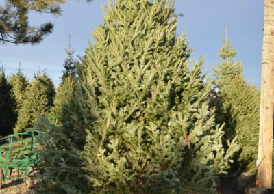 Christmas Trees - Heidrich's Colorado Tree Farm Nursery