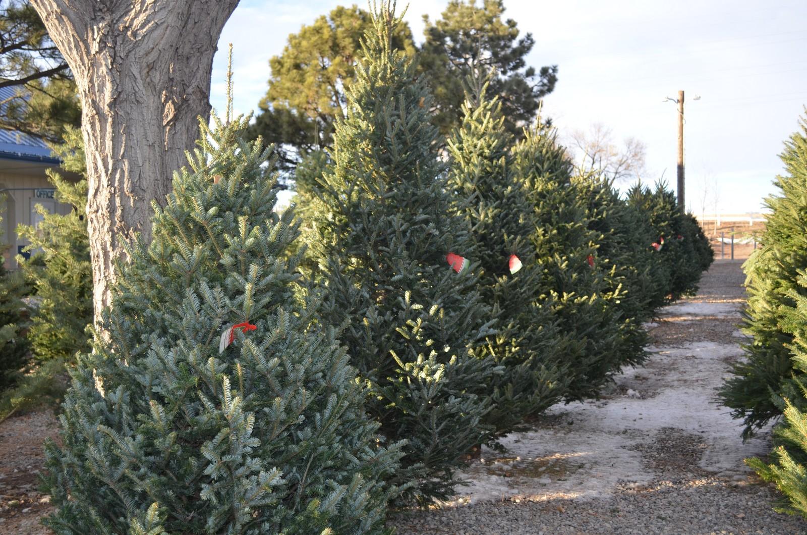 Christmas Trees - Heidrich\'s Colorado Tree Farm Nursery
