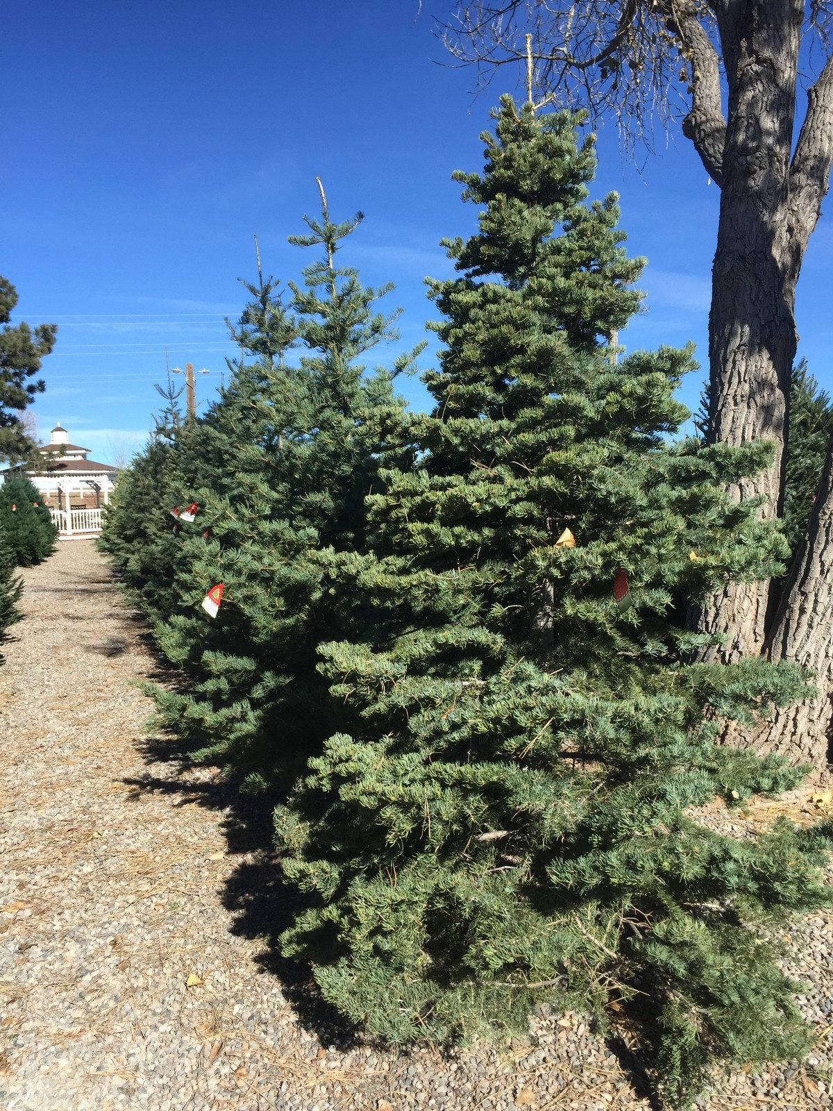 How Long Does It Take To Grow A Christmas Tree.Christmas Trees Heidrich S Colorado Tree Farm Nursery